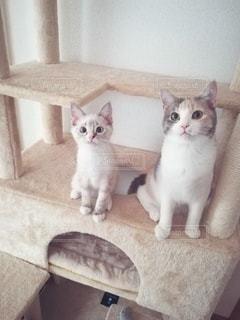 猫,動物,2匹,仲良し,ペット,人物,キャットタワー,メス,マンチカン,多頭飼い,ネコ,相性