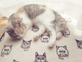 猫,動物,屋内,ペット,寝る,子猫,人物,窓際,メス,三毛猫,飼い猫,ネコ,ネコ科の動物