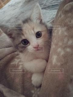 猫,動物,屋内,かわいい,ペット,子猫,人物,メス,三毛猫,マンチカン,飼い猫,ネコ,室内飼い,ネコ科の動物,ダイリュートキャリコ