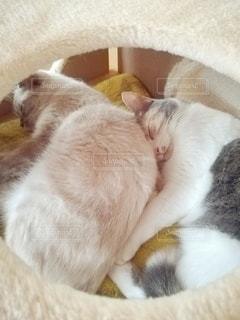 猫,動物,仲良し,ペット,寝顔,人物,キャットタワー,メス,マンチカン,多頭飼い,ネコ,相性