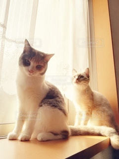 猫,動物,カーテン,2匹,仲良し,ペット,人物,座る,メス,ひなたぼっこ,ノスタルジック,マンチカン,並ぶ,出窓,多頭飼い,ネコ,相性,室内飼い