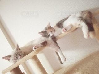 猫,動物,仲良し,ペット,寝る,子猫,人物,キャットタワー,マンチカン,シンクロ,多頭飼い,ネコ,相性,ネコ科の動物