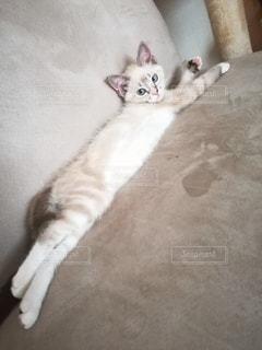猫,動物,屋内,ペット,寝る,子猫,人物,ソファ,1匹,メス,マンチカン,ネコ,ネコ科の動物
