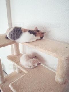 猫,動物,2匹,仲良し,ペット,寝る,人物,キャットタワー,マンチカン,シンクロ,多頭飼い,ネコ