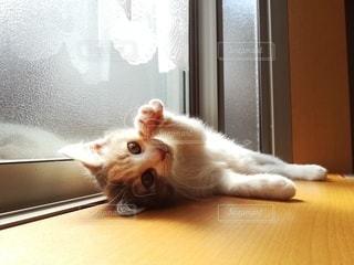猫,動物,屋内,ペット,子猫,人物,ひなたぼっこ,三毛猫,マンチカン,出窓,ネコ,ネコ科の動物,ダイリュートキャリコ