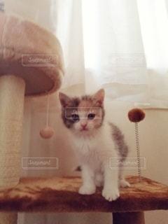 猫,動物,屋内,かわいい,ペット,子猫,人物,キャットタワー,メス,三毛猫,マンチカン,ネコ,ネコ科の動物,ダイリュートキャリコ