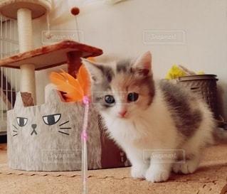 猫,動物,ペット,子猫,人物,キャットタワー,メス,三毛猫,マンチカン,ネコ,ダイリュートキャリコ