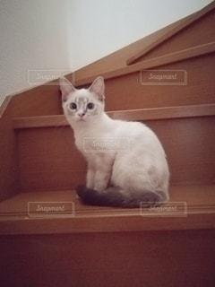 猫,動物,階段,ペット,人物,メス,マンチカン,ネコ,室内飼い