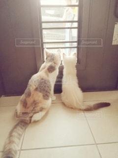 猫,動物,後ろ姿,2匹,仲良し,ペット,人物,玄関,マンチカン,見送り,多頭飼い,ネコ,網戸,室内飼い,脱走防止
