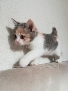 猫,動物,散歩,ペット,子猫,人物,ソファ,メス,マンチカン,ネコ,生後2ヶ月