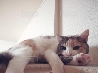 猫,動物,屋内,白,ペット,人物,キャットタワー,三毛猫,マンチカン,毛づくろい,ネコ,ネコ科の動物,ダイリュートキャリコ