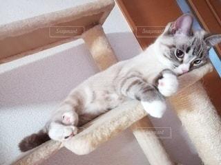 猫,動物,屋内,かわいい,ペット,子猫,人物,キャットタワー,上目遣い,メス,マンチカン,甘える,ネコ,ネコ科の動物