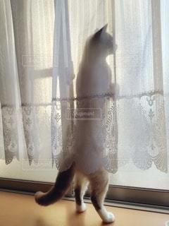 猫,動物,屋内,窓,カーテン,ペット,レース,人物,立つ,メス,見つめる,マンチカン,出窓,ネコ,眺める,すりガラス,室内飼い
