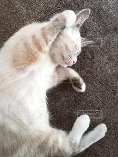 猫,動物,ペット,寝顔,人物,ポーズ,メス,寝相,マンチカン,ネコ,室内飼い