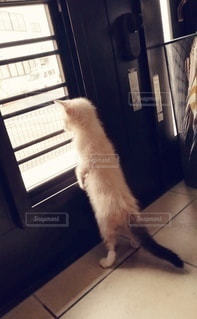 猫,動物,屋内,ペット,子猫,人物,玄関,メス,マンチカン,見送り,ネコ,お出迎え