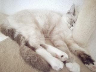 猫,動物,屋内,ペット,寝顔,寝る,子猫,人物,キャットタワー,メス,マンチカン,ネコ,ネコ科の動物