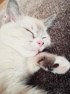 猫,動物,屋内,かわいい,ペット,寝顔,子猫,人物,肉球,メス,マンチカン,カーペット,ネコ