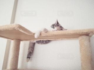 猫,動物,ペット,寝顔,人物,キャットタワー,しっぽ,三毛猫,マンチカン,ネコ,はみ肉,ダイリュートキャリコ