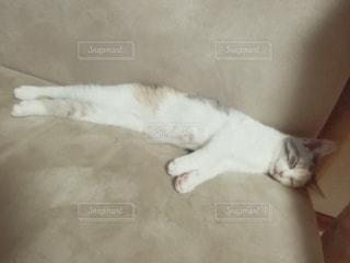 猫,動物,屋内,白,ペット,寝る,子猫,人物,ソファ,メス,マンチカン,伸び,ネコ,ベッド,ダイリュートキャリコ
