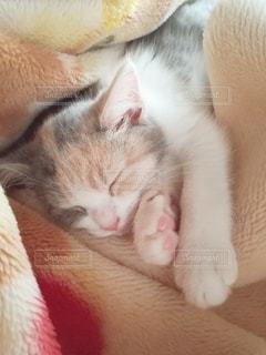 猫,動物,屋内,かわいい,オレンジ,ペット,寝顔,寝る,子猫,人物,毛布,三毛猫,マンチカン,ネコ,室内飼い,ネコ科の動物,ダイリュートキャリコ