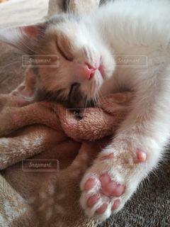 猫,動物,屋内,かわいい,ペット,寝顔,子猫,人物,肉球,三毛猫,マンチカン,ネコ,室内飼い,ネコ科の動物,ダイリュートキャリコ