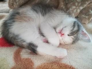猫,動物,屋内,白,かわいい,ペット,寝顔,寝る,子猫,人物,リラックス,癒し,寝相,三毛猫,丸い,マンチカン,ネコ,生後2ヶ月,丸くなる,ネコ科の動物,ダイリュートキャリコ