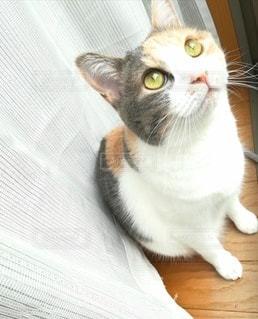 猫,動物,屋内,窓,カーテン,ペット,人物,座る,窓際,三毛猫,マンチカン,ネコ,室内飼い,ダイリュートキャリコ