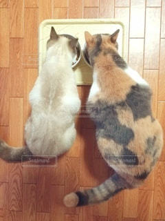 猫,動物,かわいい,2匹,仲良し,ペット,人物,ご飯,餌,メス,マンチカン,比較,並ぶ,多頭飼い,ネコ,大きさ,相性,室内飼い,ネコ科の動物