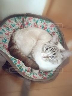 猫,動物,屋内,かわいい,ペット,床,子猫,人物,カメラ目線,マンチカン,入る,花柄,ネコ,バッグ,ネコ科の動物