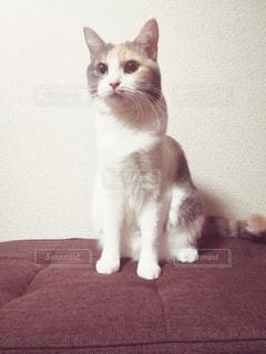 猫,動物,屋内,かわいい,ペット,人物,座る,見つめる,三毛猫,マンチカン,ネコ,室内飼い,ネコ科の動物,ダイリュートキャリコ
