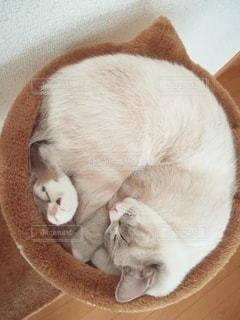 猫,動物,屋内,白,かわいい,ペット,寝顔,寝る,子猫,人物,キャットタワー,睡眠,マンチカン,ネコ,丸まる,ネコ科の動物