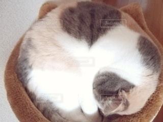 猫,動物,屋内,かわいい,ペット,人物,キャットタワー,ネコ,丸まる,ネコ科の動物