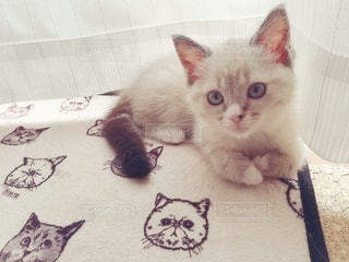 猫,動物,屋内,白,かわいい,カーテン,ペット,子猫,人物,座る,窓際,マンチカン,ネコ,ネコ科の動物
