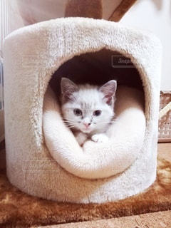 猫,動物,屋内,白,かわいい,ペット,子猫,人物,座る,キャットタワー,マンチカン,ネコ,ネコ科の動物