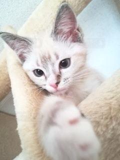 猫,動物,白,かわいい,ペット,子猫,人物,アップ,キャットタワー,マンチカン,ネコ,室内飼い,ネコ科の動物