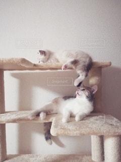 猫,動物,かわいい,足,2匹,ペット,子猫,人物,キャットタワー,鼻,メス,マンチカン,口,匂い,多頭飼い,ネコ,フレーメン反応,嗅ぐ,相性,ネコ科の動物