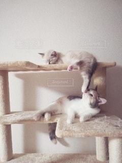 猫,動物,かわいい,2匹,仲良し,ペット,子猫,人物,キャットタワー,メス,マンチカン,匂い,多頭飼い,ネコ,フレーメン反応,嗅ぐ,相性,ネコ科の動物