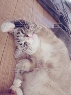 猫,動物,屋内,かわいい,ペット,寝顔,子猫,人物,ポーズ,1匹,メス,寝相,寝起き,マンチカン,体操,ネコ,ラジオ体操,室内飼い,ネコ科の動物,寝ぼけ顔