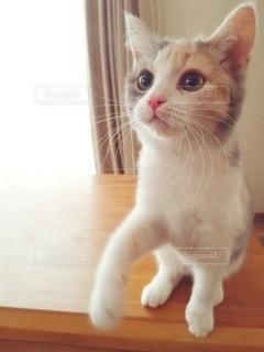 猫,動物,屋内,白,かわいい,オレンジ,テーブル,ペット,子猫,人物,座る,1匹,メス,見つめる,三毛猫,マンチカン,甘える,ネコ,足長,ネコ科の動物,ダイリュートキャリコ