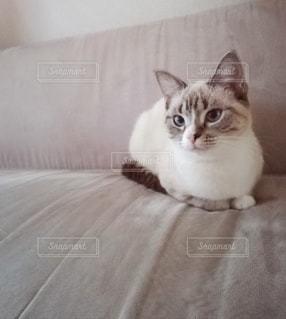 猫,動物,屋内,白,かわいい,ペット,子猫,人物,座る,ソファ,1匹,メス,マンチカン,青い目,シルバータビー,ネコ,ベッド,足長,室内飼い,ネコ科の動物
