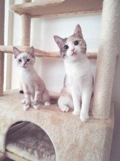 キャットタワーに並んで座る猫の写真・画像素材[2964191]