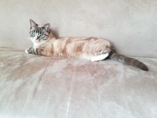 猫,動物,屋内,白,寝転ぶ,ペット,子猫,人物,ソファ,1匹,メス,マンチカン,ネコ,室内飼い,ネコ科の動物