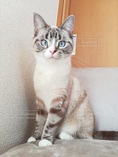 猫,動物,かわいい,ペット,子猫,人物,座る,ソファ,1匹,マンチカン,ネコ,室内飼い,ネコ科の動物