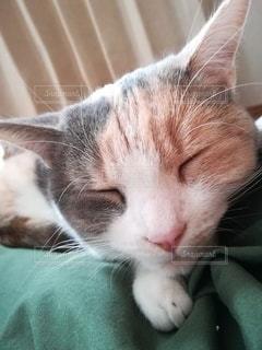 猫,動物,屋内,緑,かわいい,昼寝,ペット,寝顔,人物,膝,毛布,メス,三毛猫,マンチカン,甘える,膝の上,ネコ,室内飼い,ネコ科の動物,ダイリュートキャリコ