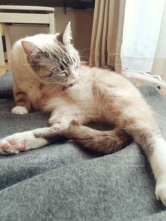 猫,動物,屋内,白,かわいい,ペット,寝る,子猫,人物,メス,舐める,マンチカン,毛づくろい,ネコ,室内飼い,ネコ科の動物