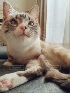 猫,動物,屋内,白,かわいい,ペット,子猫,人物,上目遣い,メス,マンチカン,ネコ,室内飼い,ネコ科の動物