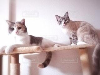 猫,動物,屋内,白,2匹,オレンジ,ペット,子猫,人物,座る,キャットタワー,メス,三毛猫,マンチカン,多頭飼い,ネコ,相性,室内飼い,ネコ科の動物,ダイリュートキャリコ