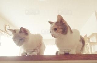 猫,動物,屋内,2匹,仲良し,ペット,子猫,人物,座る,メス,見つめる,マンチカン,カウンター,並ぶ,多頭飼い,ネコ,相性,室内飼い,ダイリュートキャリコ