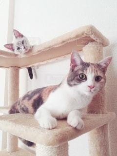 猫,動物,屋内,白,かわいい,2匹,仲良し,ペット,子猫,人物,座る,キャットタワー,メス,見つめる,三毛猫,マンチカン,多頭飼い,ネコ,相性,室内飼い,ネコ科の動物,ダイリュートキャリコ