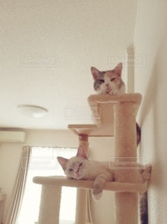 猫,動物,屋内,2匹,ペット,子猫,人物,壁,座る,キャットタワー,三毛猫,マンチカン,多頭飼い,ネコ,相性,室内飼い,ネコ科の動物,ダイリュートキャリコ